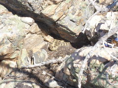 Rock Climbing Photo: Rattler on the summit.  Watch where you drop your ...