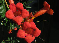 Rock Climbing Photo: Trumpet Creeper (Campsis radicans). Photo by Blitz...