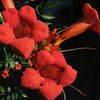 Trumpet Creeper (Campsis radicans).<br> Photo by Blitzo.
