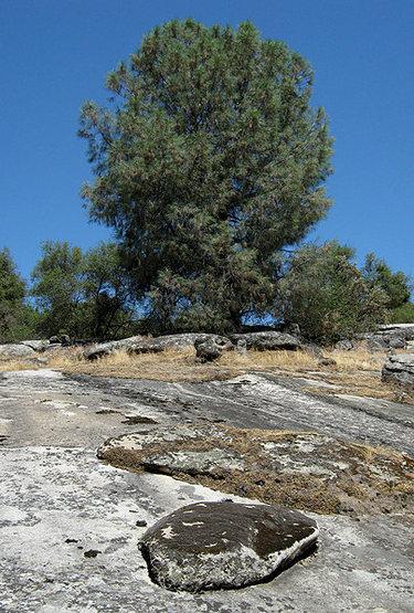 Digger Pine aka Grey Pine.<br> Photo by Blitzo.
