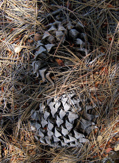 Rock Climbing Photo: Digger pine cones. Photo by Blitzo.