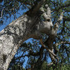 Live Oak?<br> Photo by Blitzo.