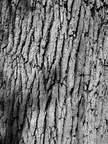 Live oak bark detail?<br> Photo by Blitzo.