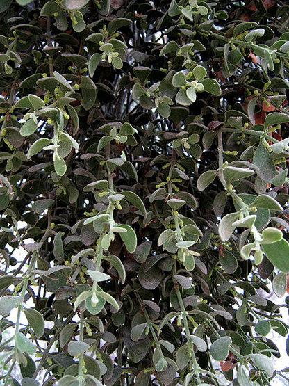 Mistletoe.<br> Photo by Blitzo.