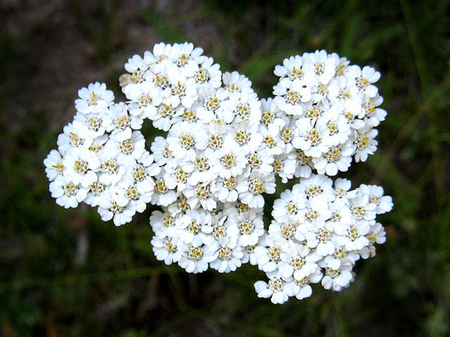 Common Yarrow (Achillea Augustissima).<br> Photo by Blitzo.