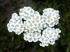 Rock Climbing Photo: Common Yarrow (Achillea Augustissima). Photo by Bl...
