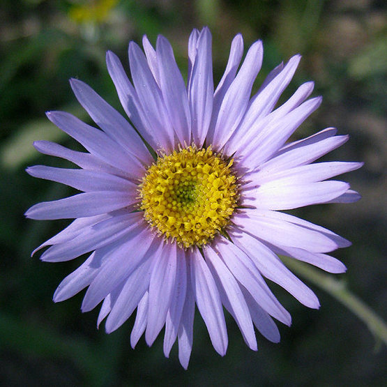 Hoary Aster.<br> Photo by Blitzo.