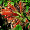 Wavy Leaf Paintbrush.<br> Photo by Blitzo.