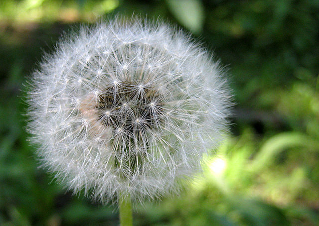 Dandelion gone to seed.<br> Photo by Blitzo.