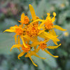Not sure. Some type of Groundsel?<br> Photo by Blitzo.
