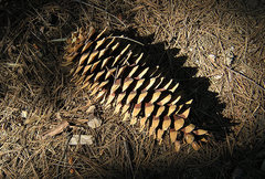 Rock Climbing Photo: Sugar Pine Cone. Photo by Blitzo.