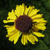 Some sort of sunflower. Not sure.<br> Photo by Blitzo.