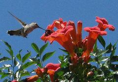 Rock Climbing Photo: Female Ruby-Throated Hummingbird. Photo by Blitzo.