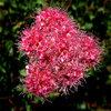 Mountain Spiraea (Spiraea densiflora).<br> Photo by Blitzo.