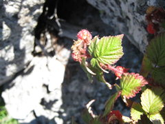 Rock Climbing Photo: There are raspberry bushes on this route in the ta...