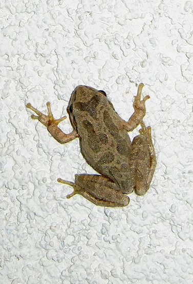A Pacific Tree Frog (Hyla regilla),climbing a wall.<br> Photo by Blitzo.