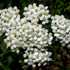 Common Yarrow.<br> Photo by Blitzo.