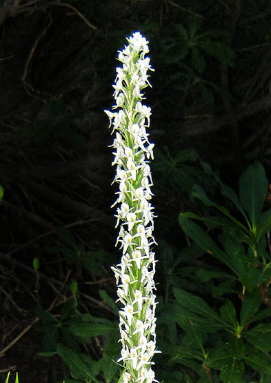 Bog Orchid-Rein Orchid (Platanthera leucostachys).<br> Photo by Blitzo.
