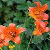 Alpine lilies.<br> Photo by Blitzo.