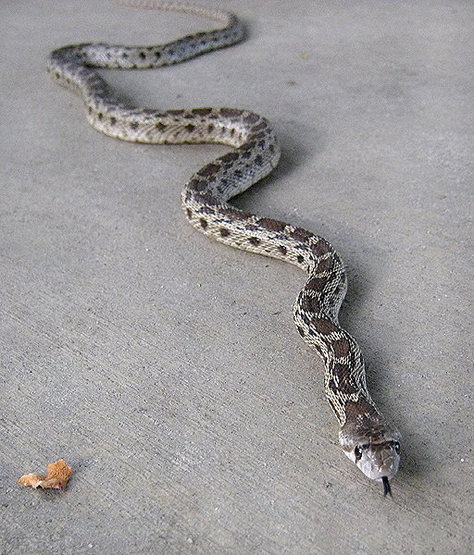 A young Gopher snake.<br> Photo by Blitzo.