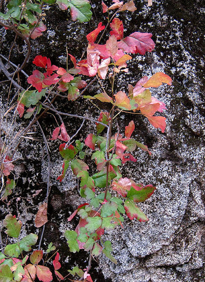 Poison oak is nice in late season color.<br> Photo by Blitzo.
