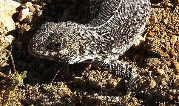 Desert Iguana.<br> Photo by Blitzo.