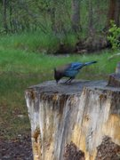 Rock Climbing Photo: And lets not forget the Stellar Jay, friggin mooch...