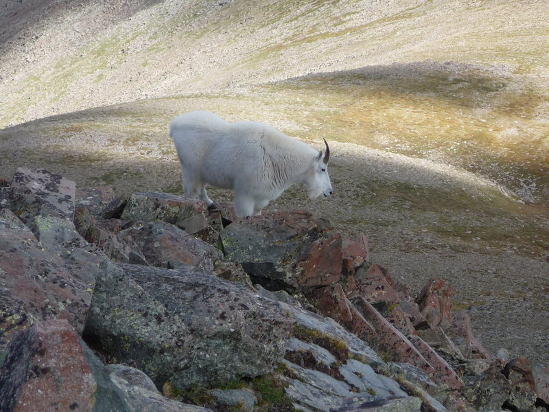 Mountain goat on Rito Alto Peak, Sangre De Cristos, CO.