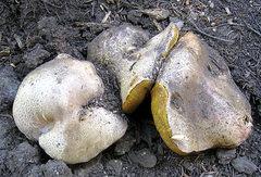 Rock Climbing Photo: Big schrooms push their way through the duff. Phot...