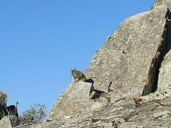 viscacha (bloated Andean rabbit) at Machu Picchu (Peru)