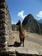 Rock Climbing Photo: gratuitous llama photo (Machu Picchu, Peru)