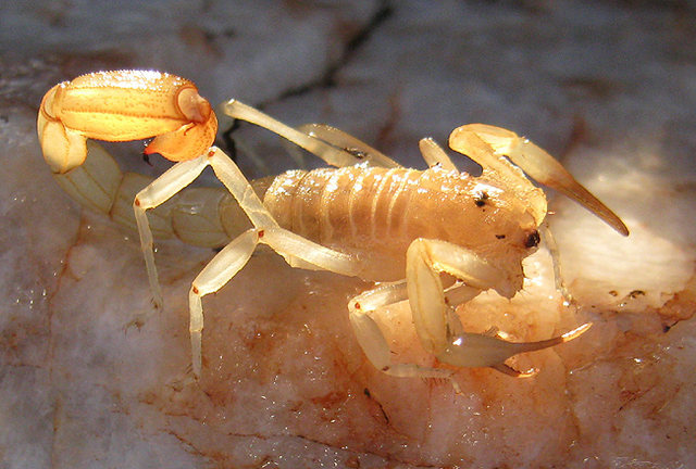 Scorpion.<br> Photo by Blitzo.