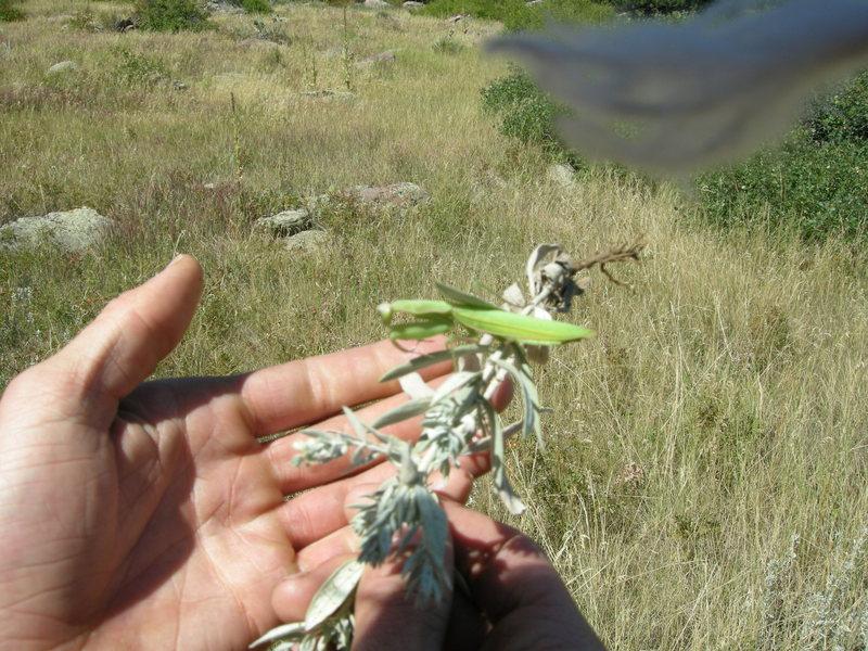 More praying mantis.