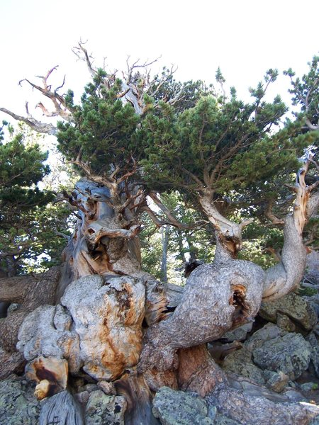 "The ""old man"" at The Crags. This is the coolest old tree that I have run into in the Estes Area."