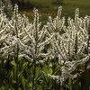 Corn Lilies.<br> Photo by Blitzo.