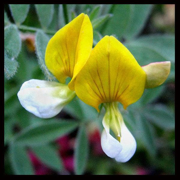 Meadow Lotus (Lotus Oblongifolius).<br> Photo by Blitzo.