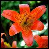 Alpine Lily (Lilium parvum}. <br> Photo by Blitzo.