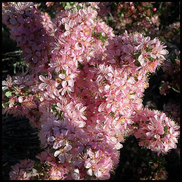 Desert Peach.<br> Photo by Blitzo.