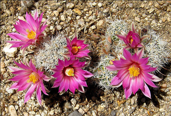 Rock Climbing Photo: A rare nipple cactus in bloom.  Photo by Blitzo.