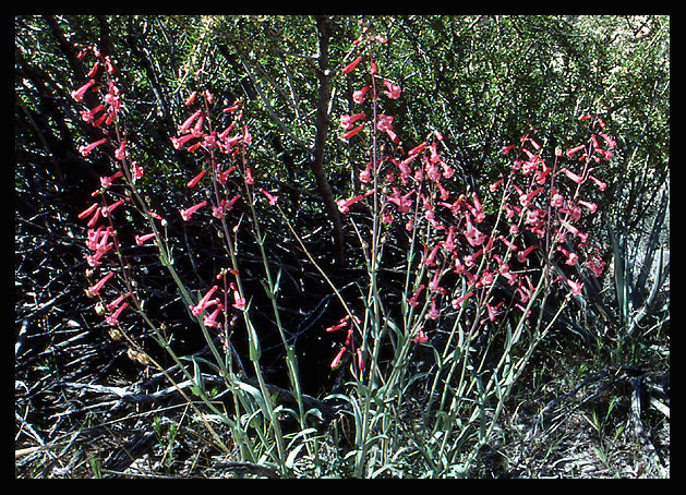 Rock Climbing Photo: Utah Firecracker (Penstemon utahensis). Photo by B...
