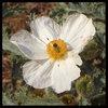 Prickly Poppy (Argemone mutia).<br> Photo by Blitzo.