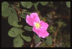 Rock Climbing Photo: Wood's Rose (Rosa woodsii). Photo by Blitzo.