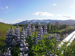 Rock Climbing Photo: Lupine The whole country is covered with blue lupi...