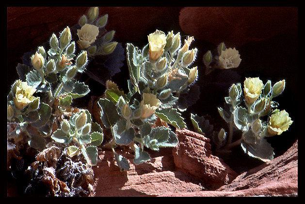 Rock Climbing Photo: Desert Rock Nettle (Eucnide urens). Photo by Blitz...
