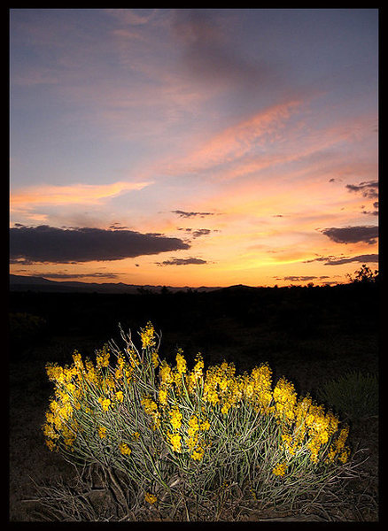 Desert Senna (Senna armata) at sunset.<br> Photo by Blitzo.