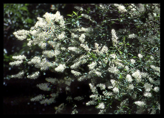 Deer Brush (Ceanothus integerrimus).<br> Photo by Blitzo.