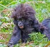Rock Climbing Photo: gorilla