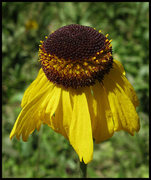Rock Climbing Photo: Bigelow's Sneezeweed (Helenium bigolovii). Photo b...