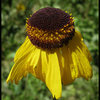 Bigelow's Sneezeweed (Helenium bigolovii).<br> Photo by Blitzo.