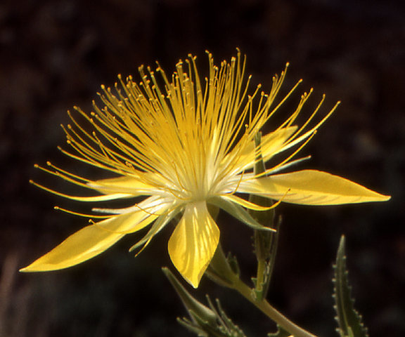 Blazing Star (Mentzelia lindleyi).<br> Photo by Blitzo.